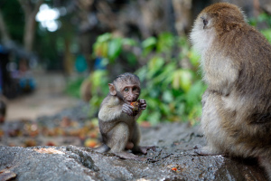 Macaque_-_Monkey_Cave_Temple_-_Thailand_(3930134954)